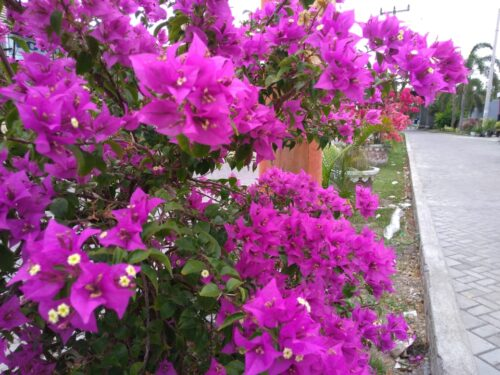 bunga bougenville antara keindahan dan mitos