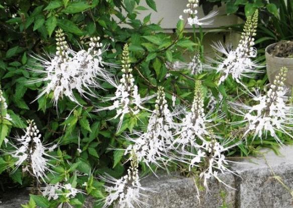 herbal pembersih pembuluh darah
